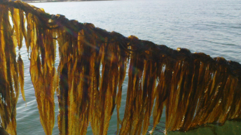 Kelp wanted-New Scientist Magazine introduces IMTA